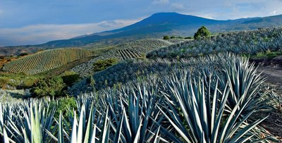 Agave_fields